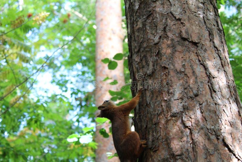 Scoiattoli della foto su un tronco di albero di estate nel parco fotografie stock libere da diritti