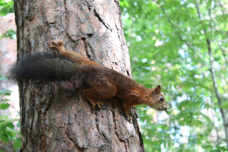 Scoiattoli della foto su un tronco di albero di estate nel parco immagini stock libere da diritti