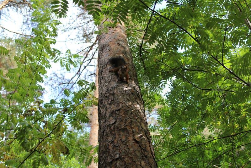 Scoiattoli della foto su un tronco di albero di estate nel parco fotografia stock libera da diritti