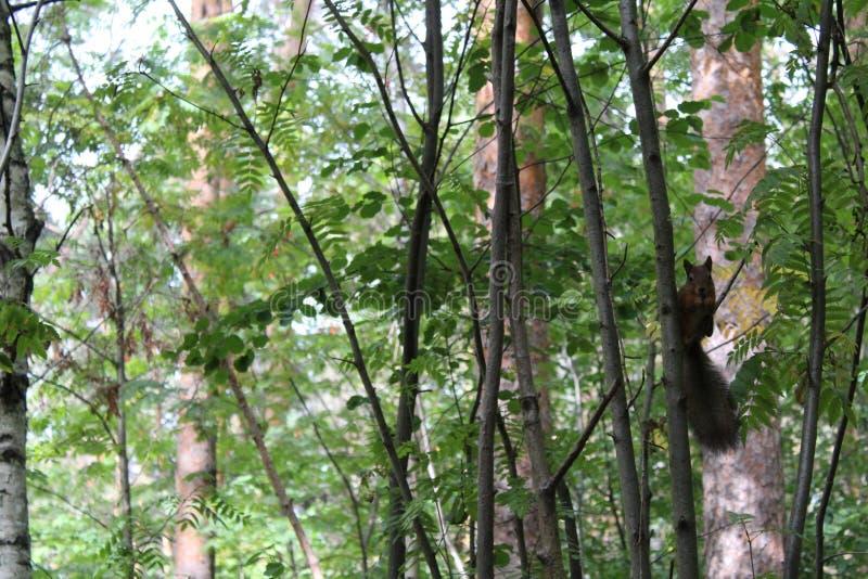 Scoiattoli della foto su un tronco di albero di estate nel parco fotografia stock