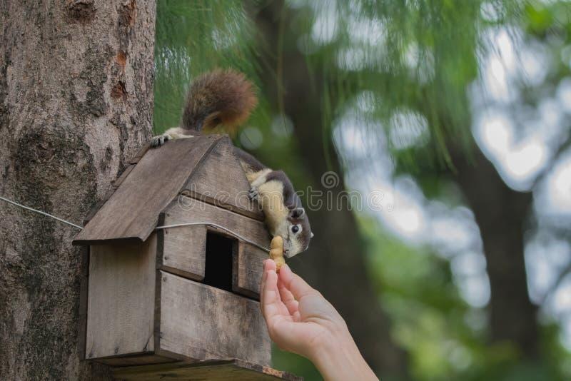 Scoiattoli di alimentazione manuale alla zona degli scoiattoli fotografia stock