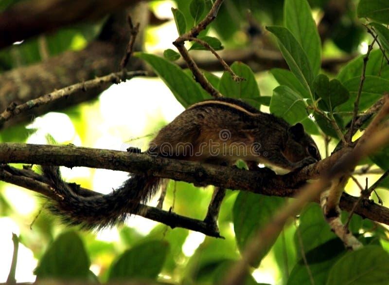 Scoiattoli in foresta indiana immagini stock libere da diritti