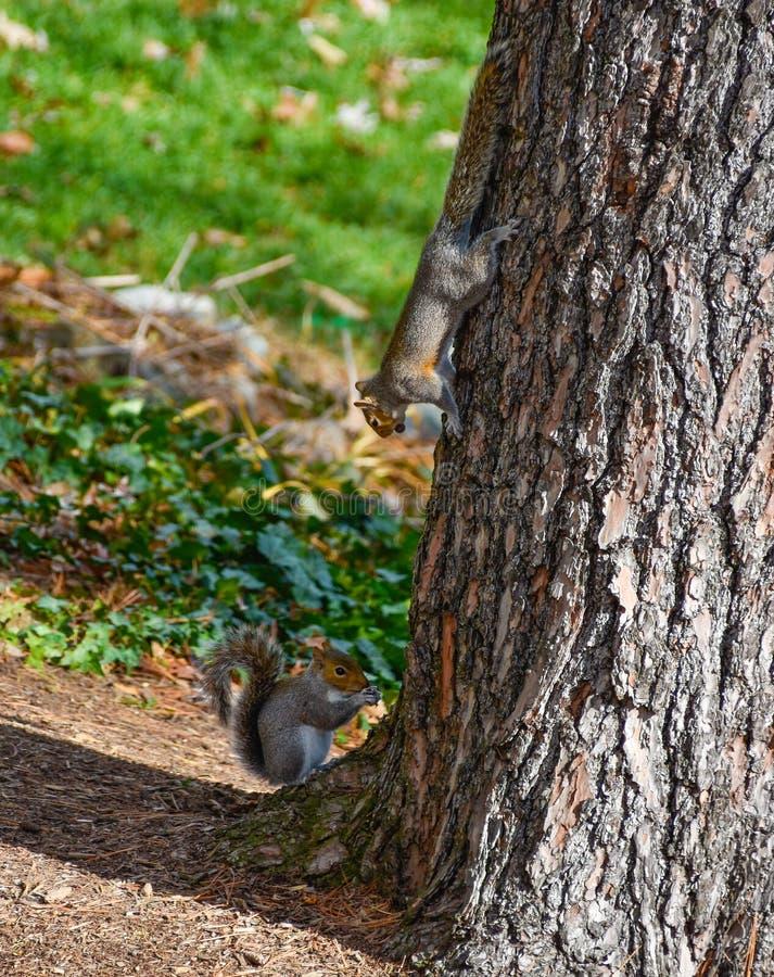 Scoiattoli rossi americani svegli in autunno che mangiano ghianda immagini stock