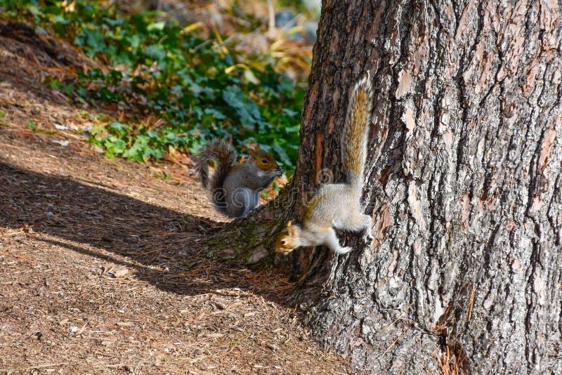 Scoiattoli rossi americani svegli in autunno che mangiano ghianda fotografie stock