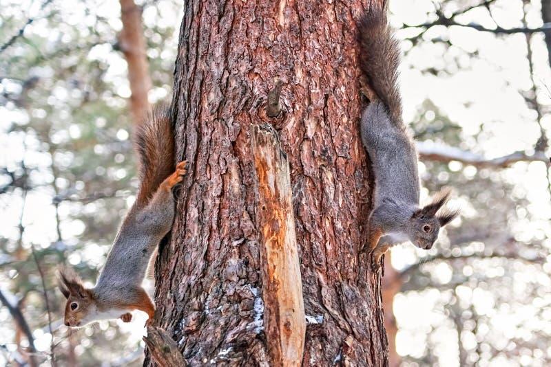 Scoiattoli rossi simili a pelliccia adorabili nella foresta, orario invernale fotografie stock