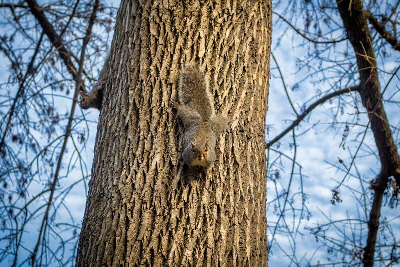 Scoiattoli su un albero in un parco, Boston, U.S.A. immagini stock