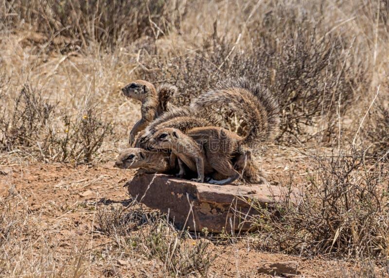 Scoiattoli a terra africani fotografia stock