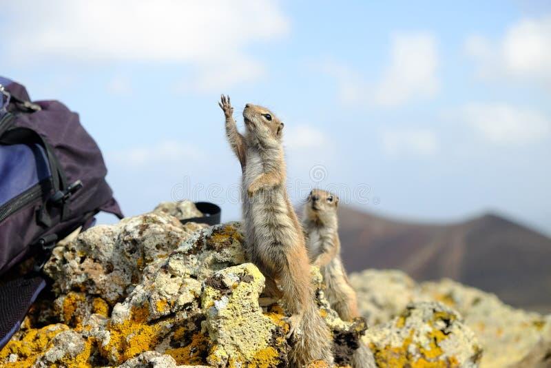 Scoiattoli a terra africani su Fuerteventura, Spagna immagine stock libera da diritti