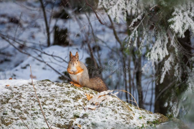 Scoiattolo all'inverno fotografie stock libere da diritti