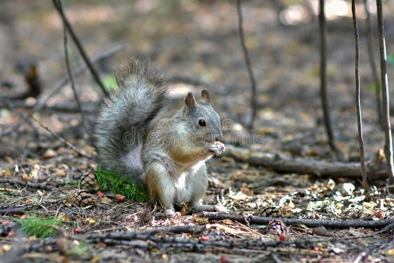Scoiattolo in autunno Forest Park Scoiattolo con i dadi nella scena dell'autunno Forest Park fotografia stock libera da diritti