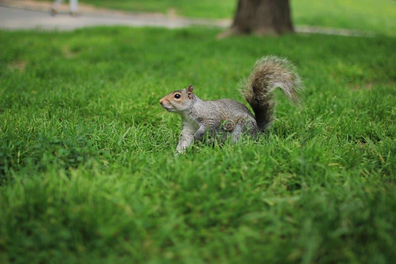 Scoiattolo in Central Park fotografie stock