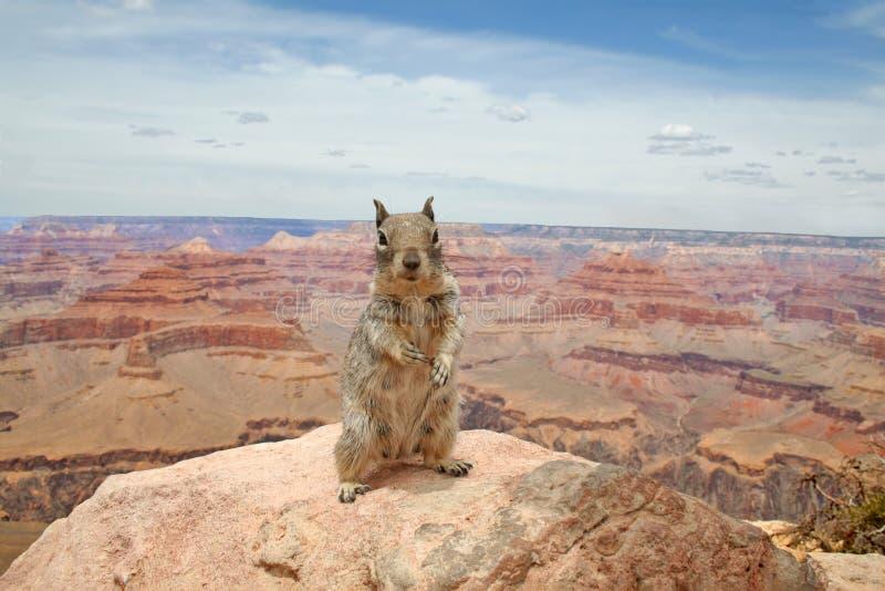 Scoiattolo che esaminano la macchina fotografica, sedendosi su una pietra e Grand Canyon in Colorado ai precedenti fotografia stock