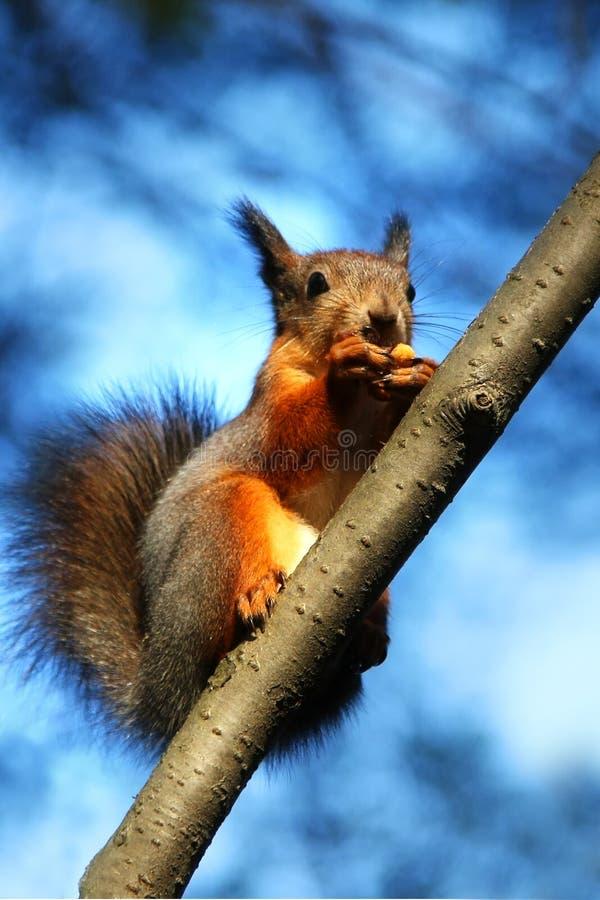 Scoiattolo che mangia sull'albero fotografia stock