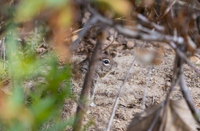 Scoiattolo che si nasconde nella spazzola ad una fine del parco su fotografia stock libera da diritti