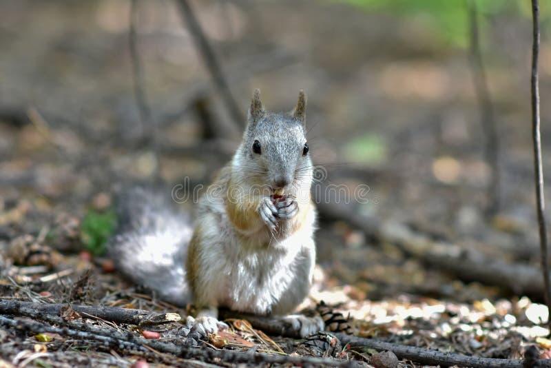 Scoiattolo che si siede in autunno Forest Park Scoiattolo che mangia una nocciola nella scena dell'autunno Forest Park immagini stock