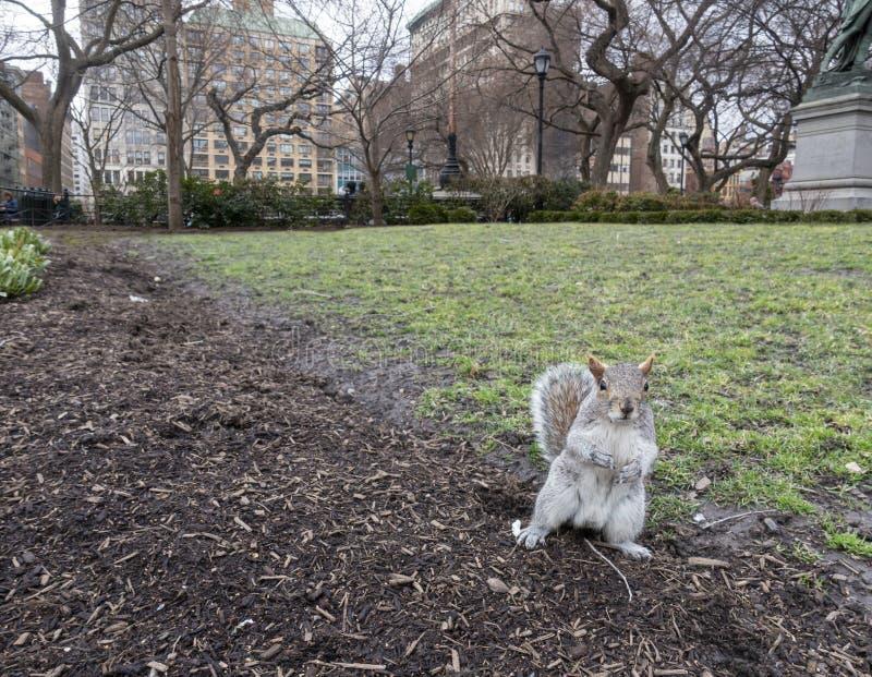 Scoiattolo che sta su in un parco di New York fotografie stock