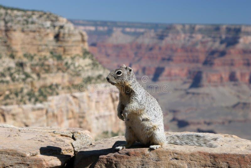 Scoiattolo con il grande canyon nei precedenti. fotografia stock libera da diritti