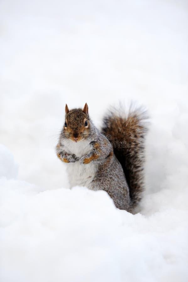 Scoiattolo con neve in inverno immagini stock libere da diritti
