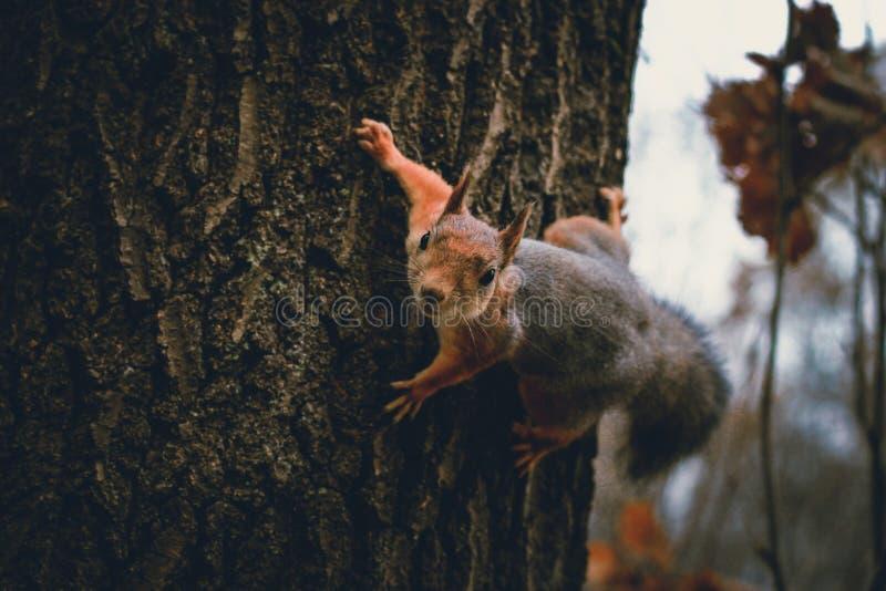 Scoiattolo con un dado su un albero fotografia stock