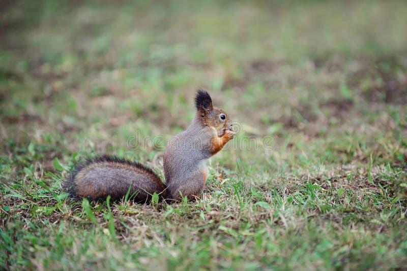 Scoiattolo con una coda lanuginosa nella foresta sul dado di rosicchiamento dell'erba fotografie stock