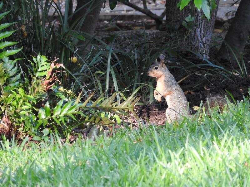 scoiattolo dello sciurus del Niger della volpe fotografia stock libera da diritti