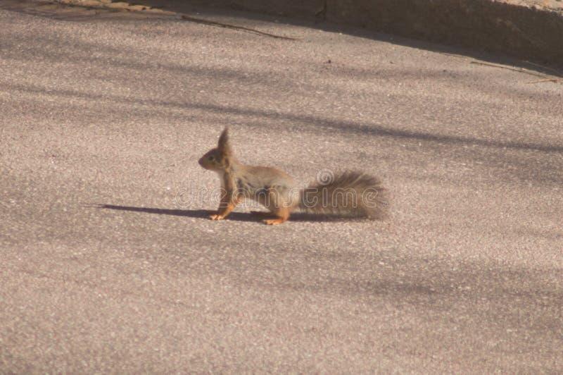 Scoiattolo dello scoiattolo fotografia stock