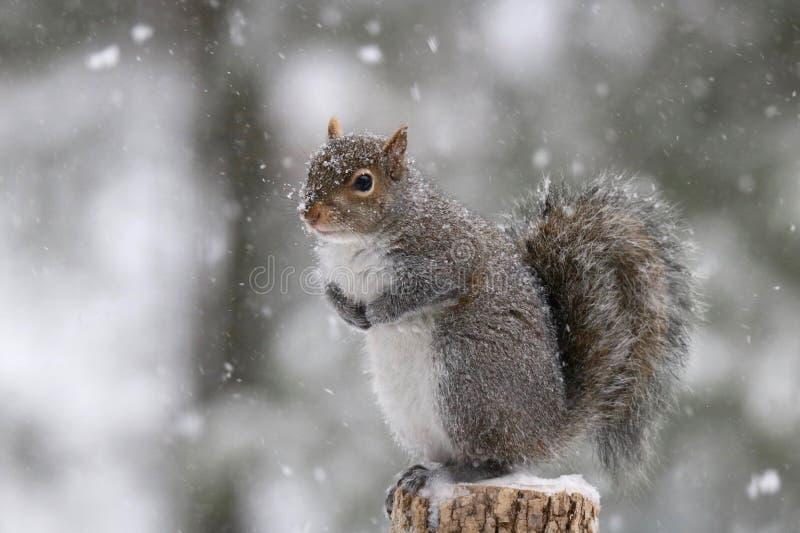 Scoiattolo di inverno con i fiocchi di neve di caduta fotografia stock libera da diritti
