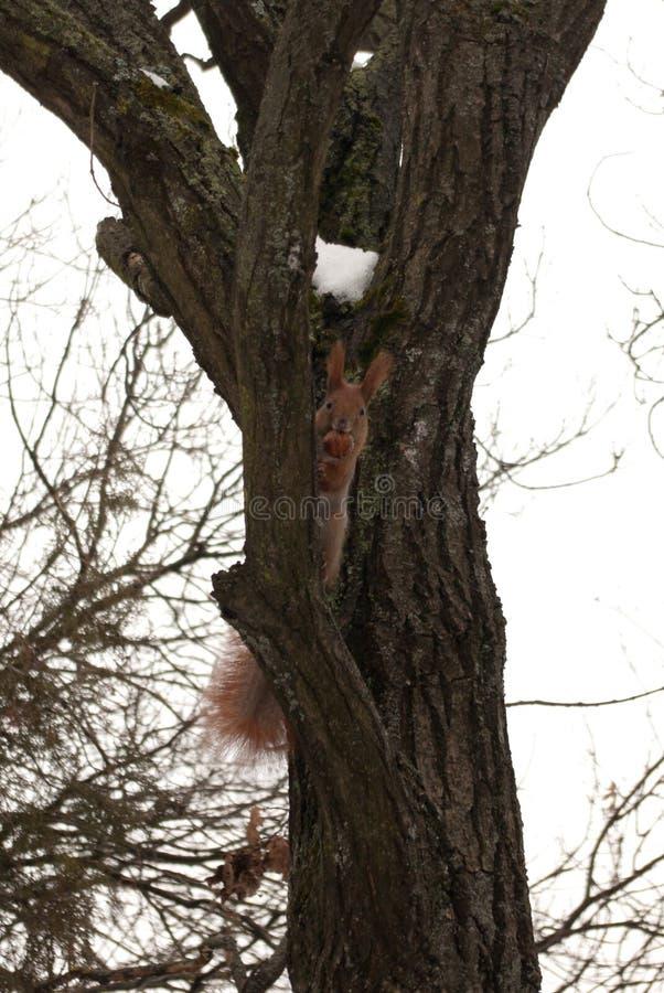 Scoiattolo di inverno su un albero con il dado fotografia stock
