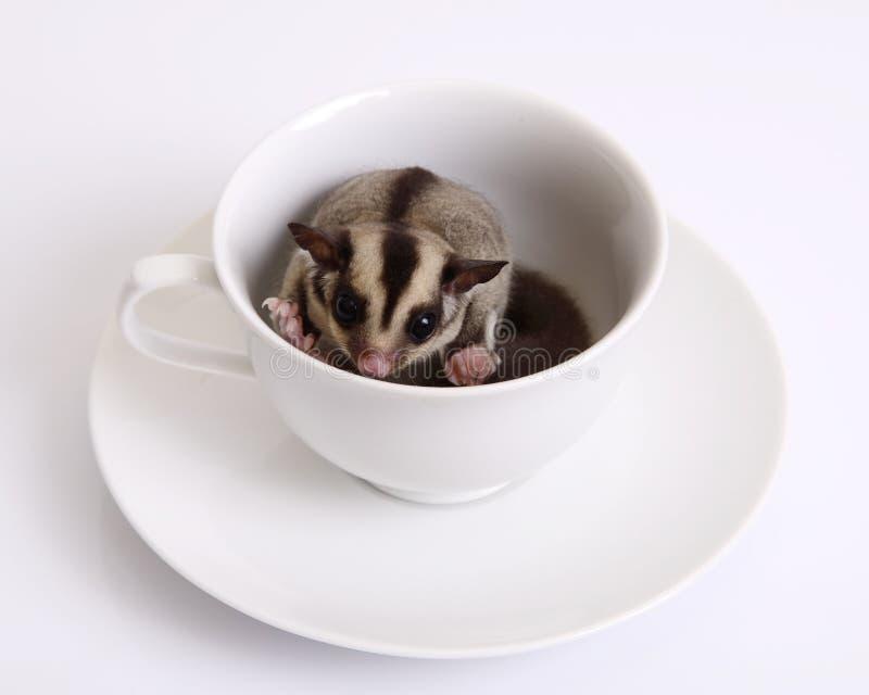 Scoiattolo di volo o Sugarglider in una tazza di caffè ceramica immagine stock libera da diritti