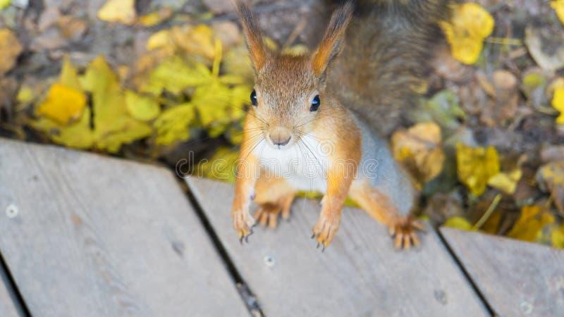 Scoiattolo diritto in autunno fotografie stock libere da diritti