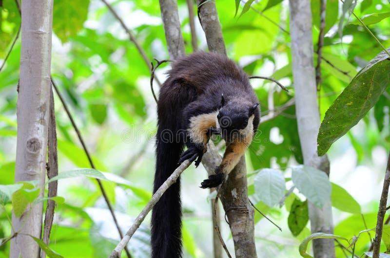 Scoiattolo gigante nero (Ratufa bicolore) fotografia stock