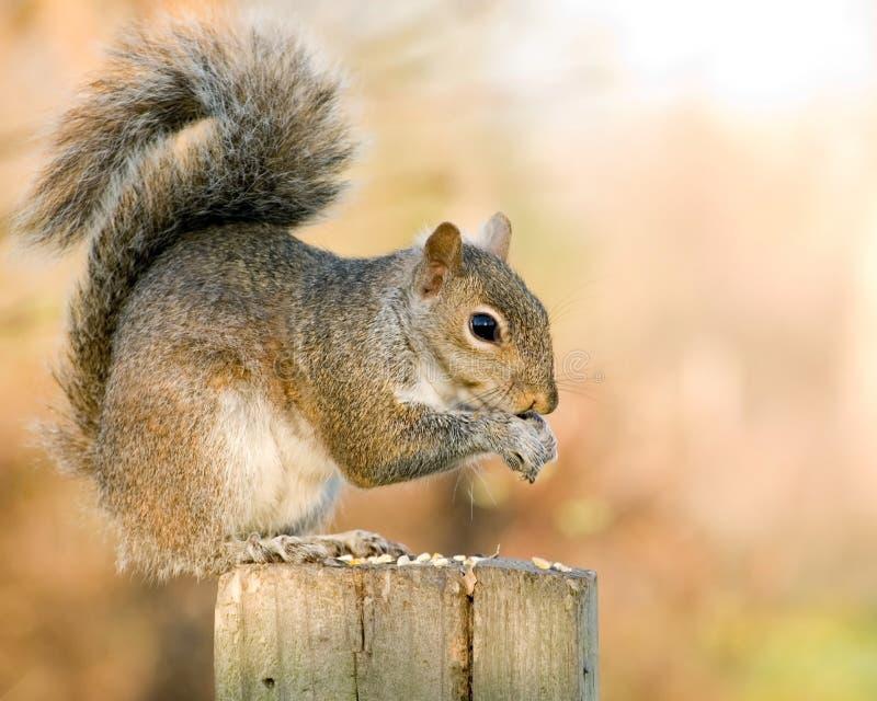 scoiattolo grigio fotografia stock