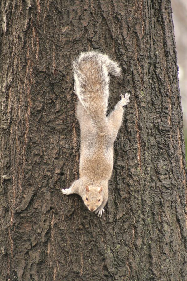 Scoiattolo grigio che abbraccia un albero immagini stock