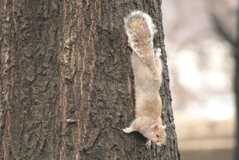 Scoiattolo grigio che abbraccia un albero fotografie stock libere da diritti
