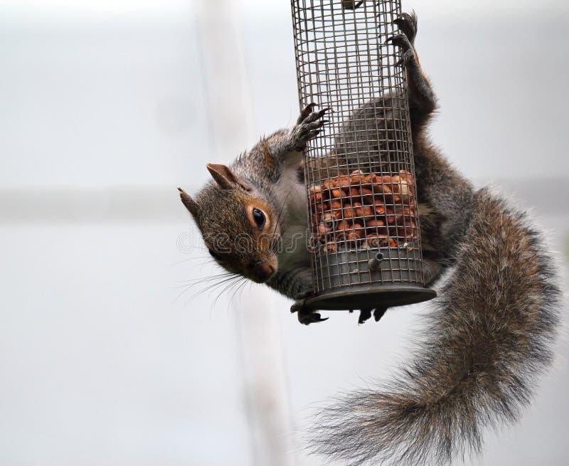 Scoiattolo grigio che appende su un alimentatore dell'uccello. immagine stock