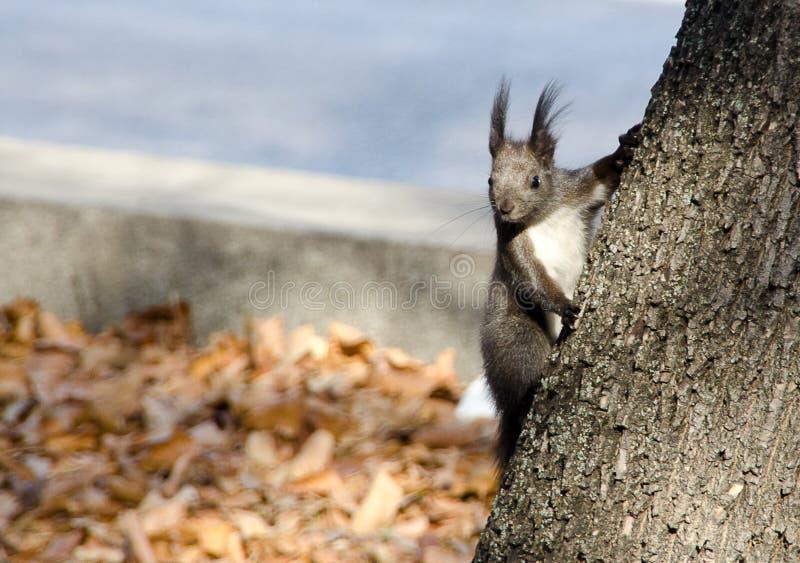 Scoiattolo grigio curioso che guarda dietro l'albero immagini stock