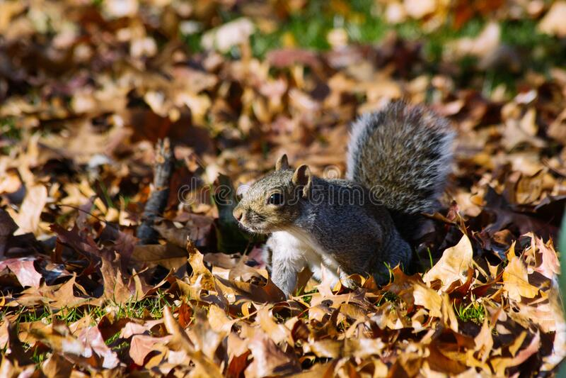 Scoiattolo grigio sulle foglie di autunno immagini stock libere da diritti