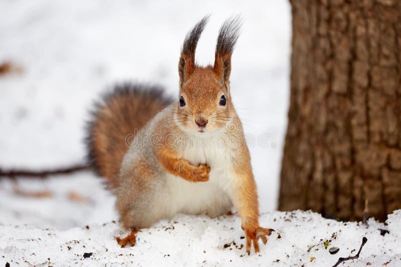Scoiattolo nel parco nell'inverno immagini stock libere da diritti