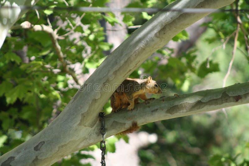 Scoiattolo nell'albero fotografia stock