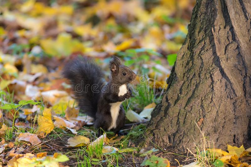 Scoiattolo nero in autunno fotografie stock