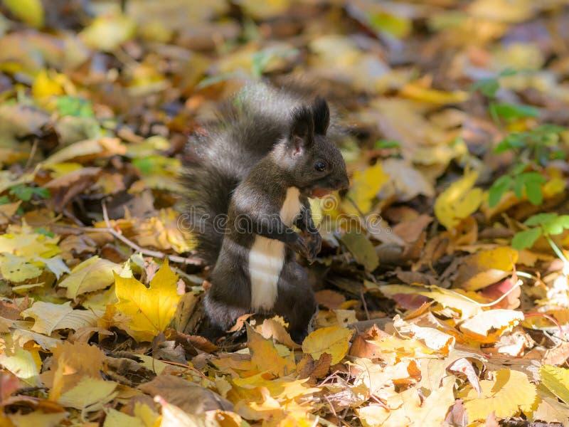 Scoiattolo nero in autunno fotografie stock libere da diritti