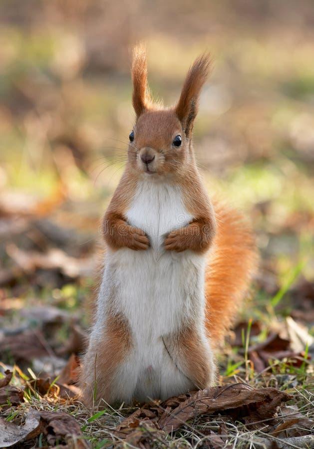 Download Scoiattolo rosso immagine stock. Immagine di scoiattolo - 3144685