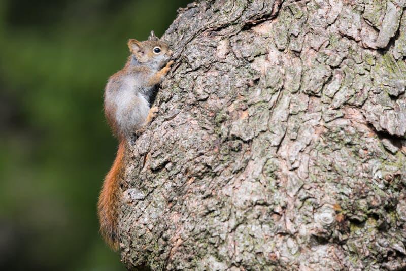 Scoiattolo rosso americano del bambino che si nasconde sull'albero fotografia stock libera da diritti