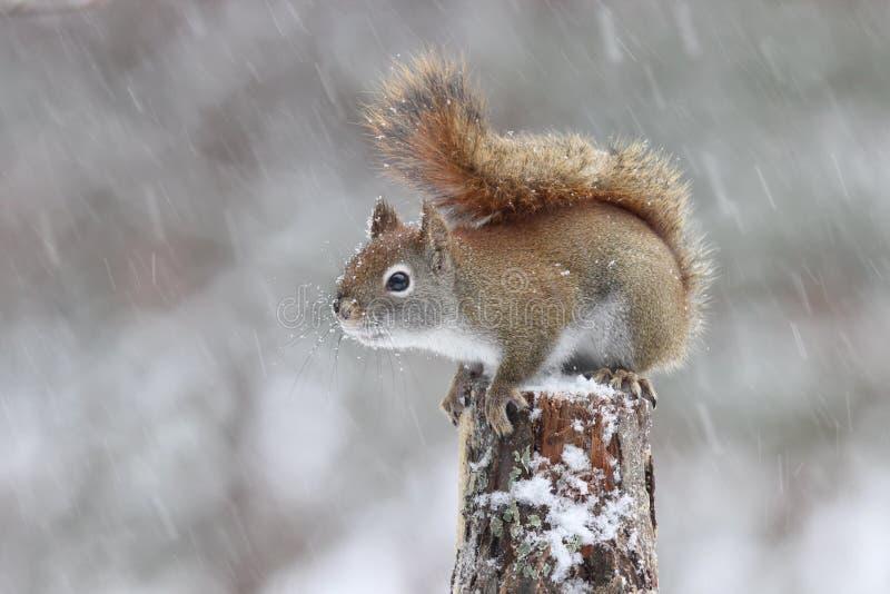 Scoiattolo rosso americano in una tempesta della neve di inverno immagine stock libera da diritti