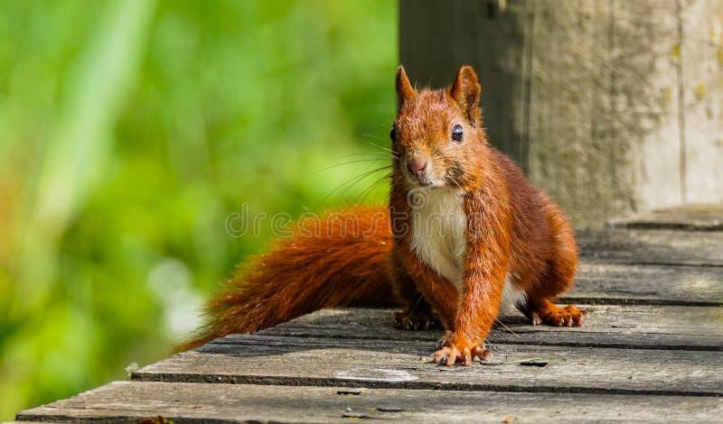 Scoiattolo rosso curioso sulla piattaforma di legno fotografia stock