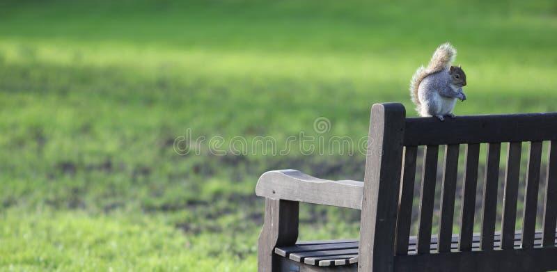 Scoiattolo rosso grasso sul banco di parco di Londra in autunno fotografie stock libere da diritti
