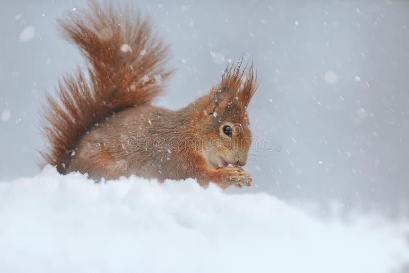 Scoiattolo rosso in inverno fotografie stock libere da diritti