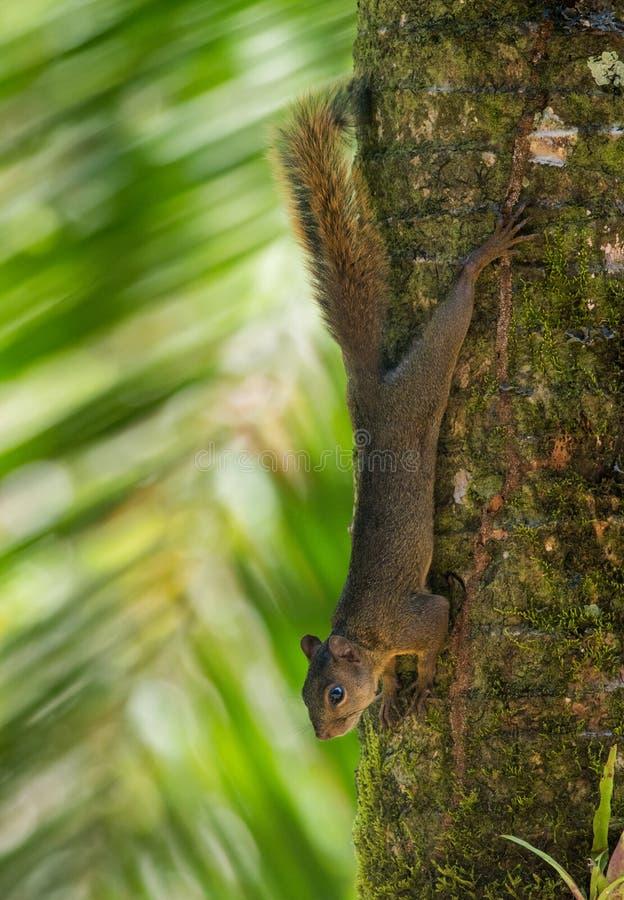 scoiattolo Rosso-munito