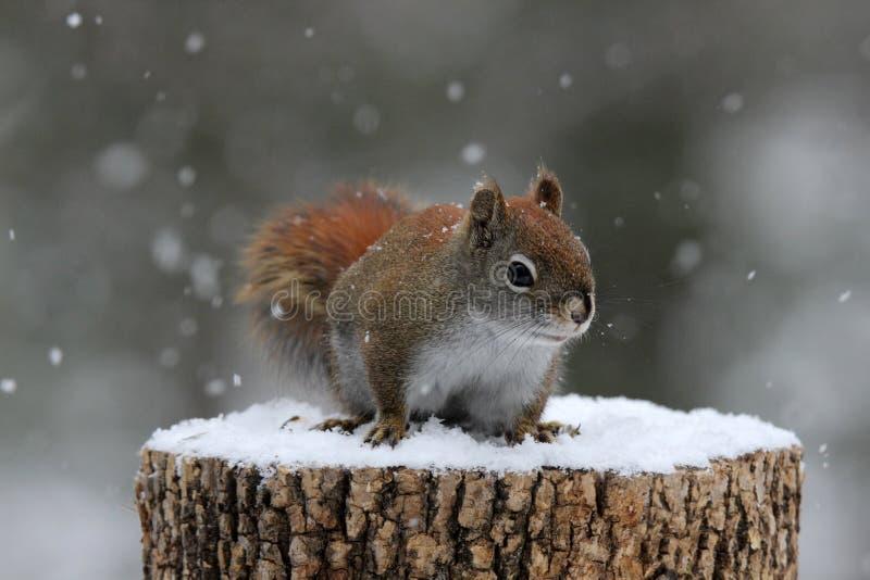 Scoiattolo rosso nella neve di inverno immagine stock libera da diritti