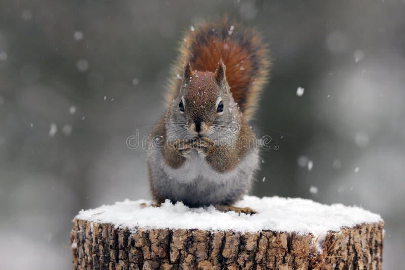 Scoiattolo rosso in neve fotografia stock libera da diritti